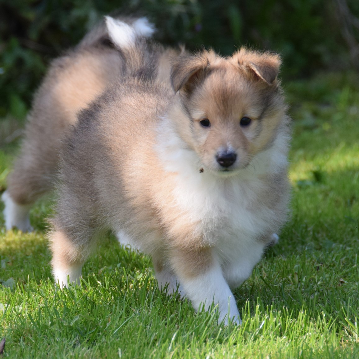 """Eddie""Sheltie4you Edge Of Tomorrow."