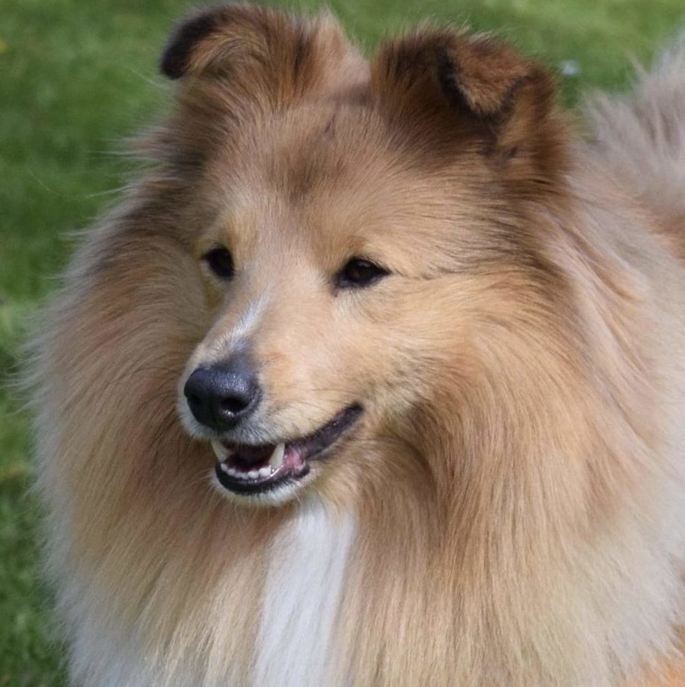 """Sammy""Sheltie4you Guardian Of Faith. CK på udstilling. HD A/B. AD. 0. Avlshan. Aktiv indenfor Agility."