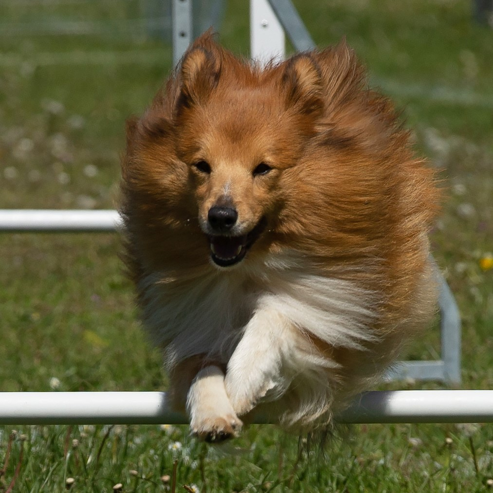 """Sammy""Sheltie4you Guardian Of Faith. CK på udstilling. HD A/B. AD 0.  Aktiv indenfor Agility. Avlshan."