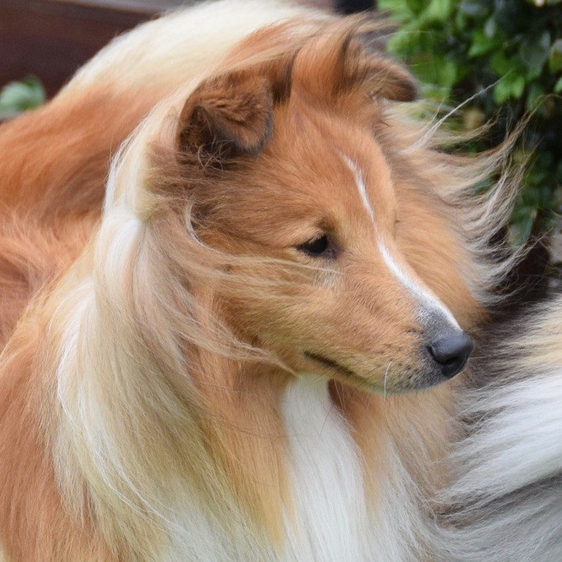 """Sonny""Sheltie4you Guardian Of Hope."