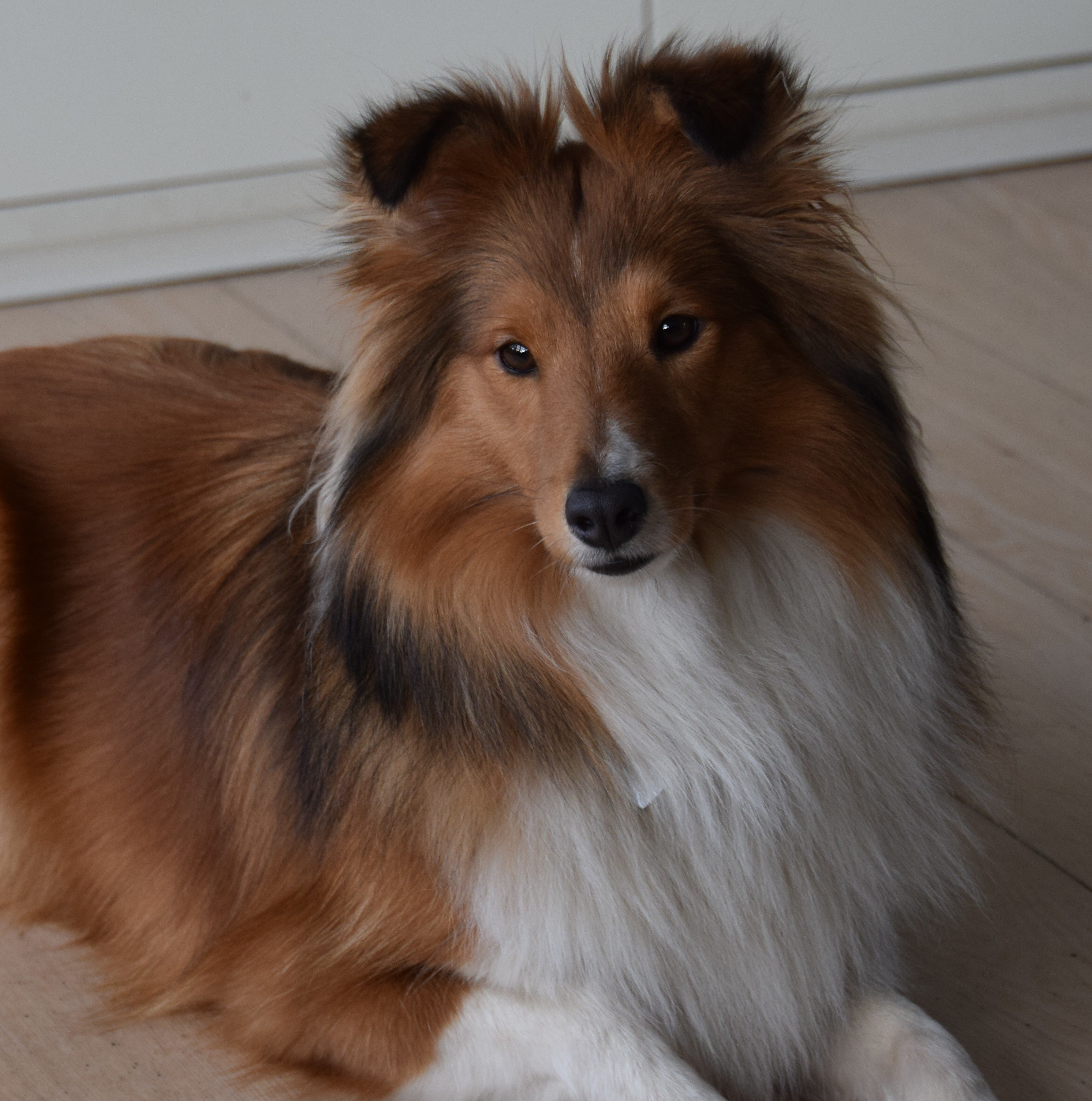"""Zoey""Sheltie4you Friends Karishma. Aktiv indenfor Agility."
