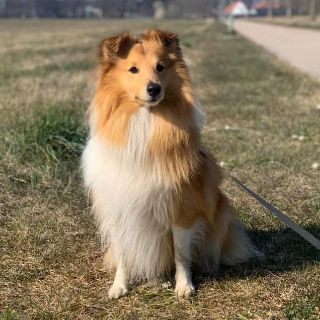 """Teddy""Sheltie4you Edge Of Perfection."