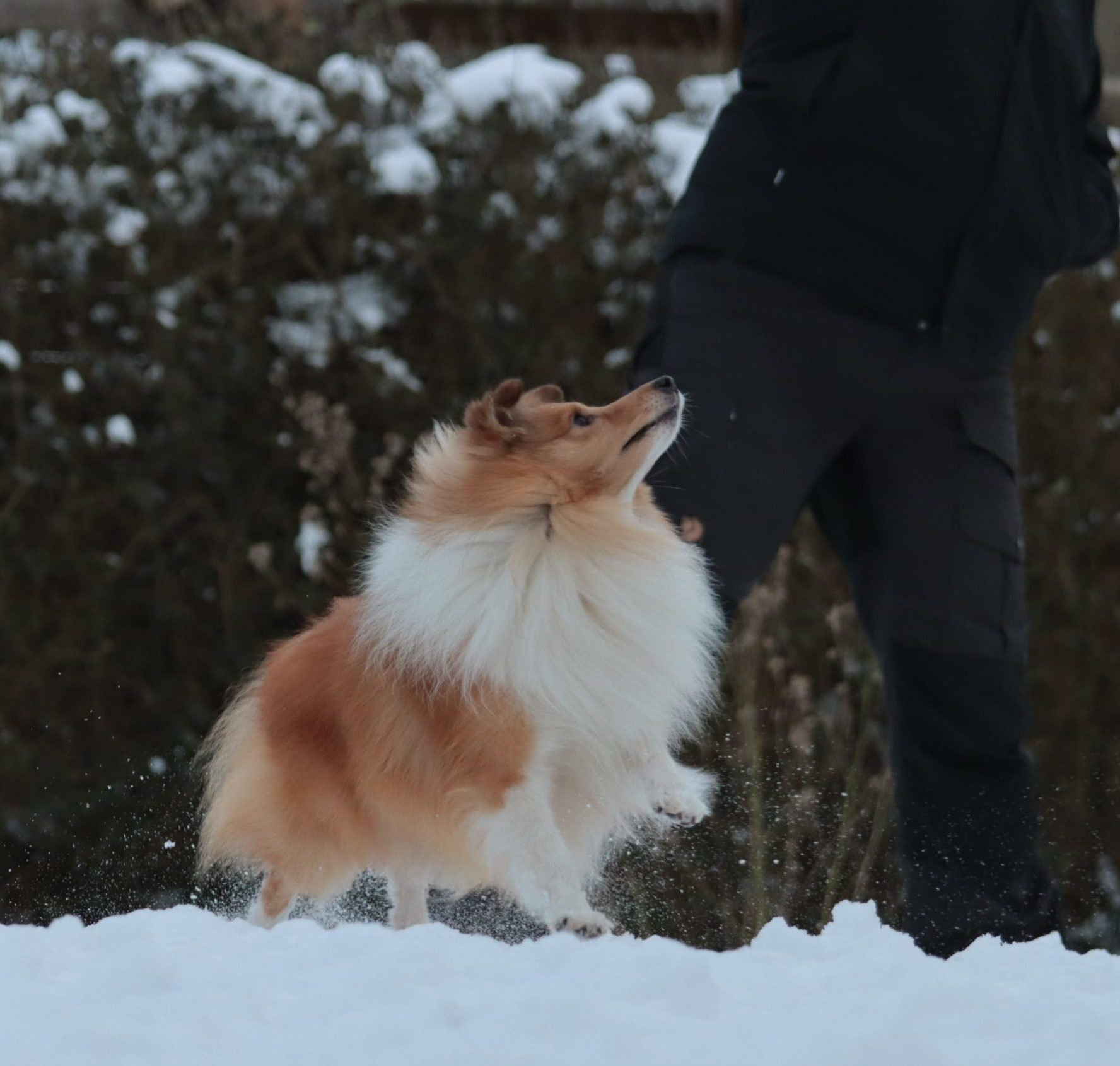 Aslan i sneen2